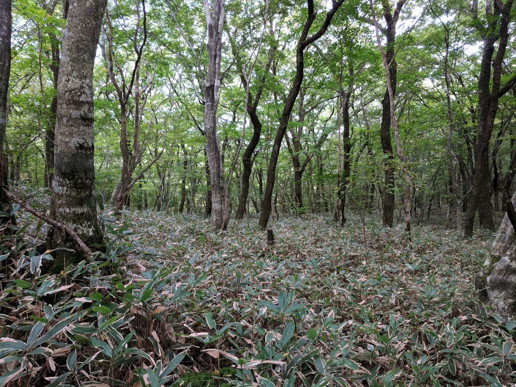 Forest with bamboo carpet, Hallasan National Park, Jeju Island, South Korea