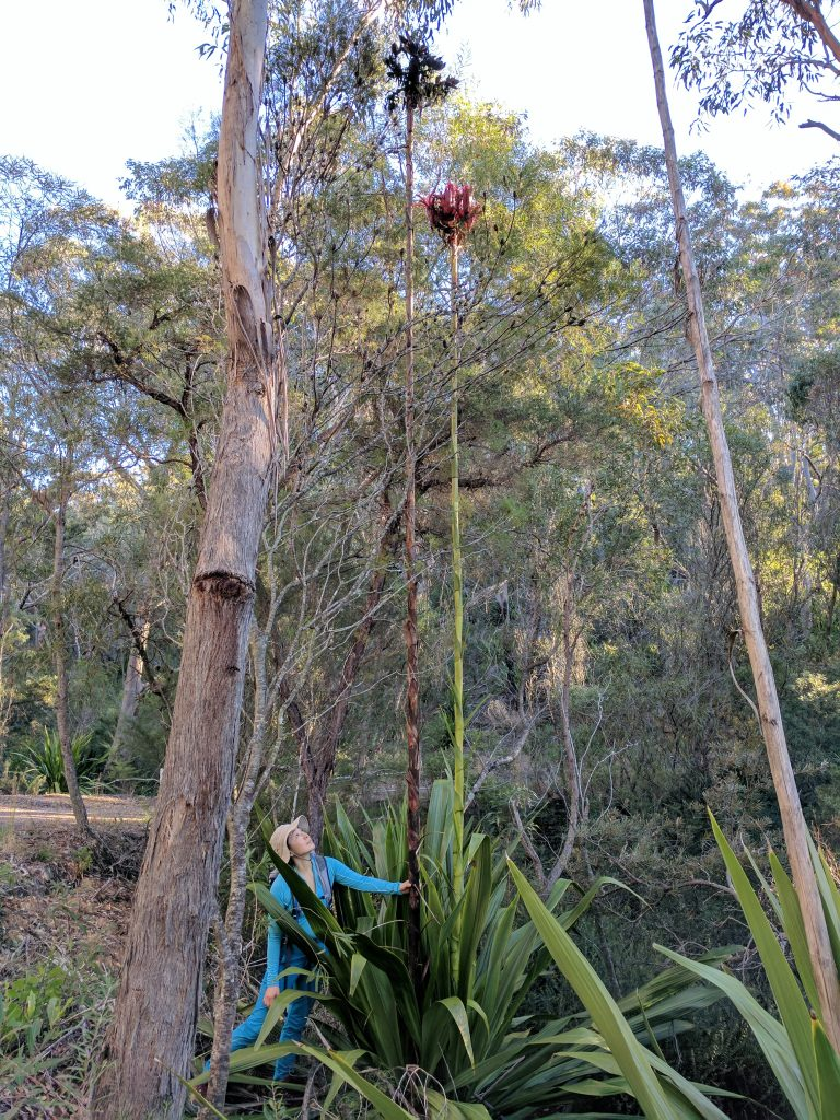 Sophia next to giant Gymea Lilies, Heathcote National Park